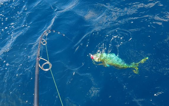 mahi on hook